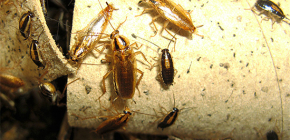 كيف تقتل الصراصير في الشقة ومن ستعهد لمكافحة الآفات