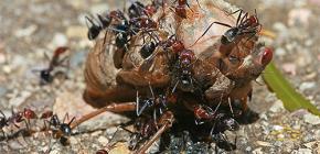 ما يأكل النمل