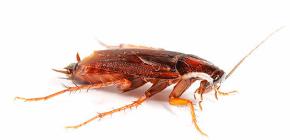 الأفضل لتسمم الصراصير في الشقة؟