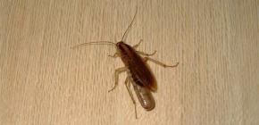أين تختبئ الصراصير عادة في شقة ويمكنها الزحف من المجاري؟