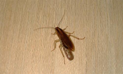 حيث تختبئ الصراصير في الشقة ...