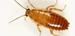 كيفية التعامل مع شقة من الصراصير؟