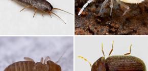 ما الحشرات الصغيرة التي يمكن العثور عليها في الشقة