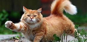 كيفية إزالة بسرعة وبأمان البراغيث من القط
