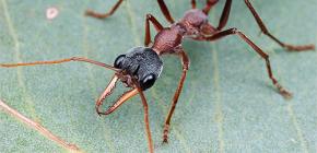 حول بلدغ النمل