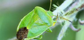 من هي الحشرات الرائحة ولماذا رائحة؟