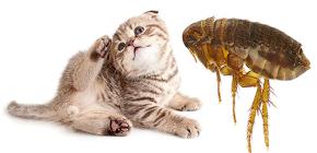القطط البراغيث: كيف تبدو وخطرة للإنسان