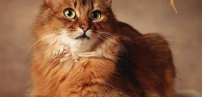 كيفية التخلص من البراغيث من قطة: نتعامل مع حيوانك الأليف بنفسك