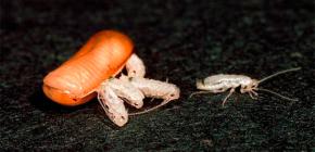 كم من الصراصير يمكن أن تفقس (ولدت) من بيضة واحدة؟