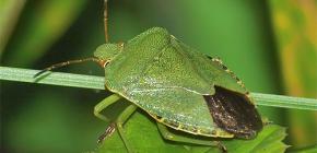كيف تبدو الحشرة الخضراء و هي تستحق أن تخاف منها