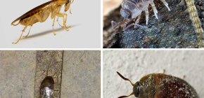 أنواع الحشرات التي يمكن أن تعيش في الشقة ، وصورها