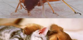 يمكن البق لدغة الحيوانات الأليفة (القطط والكلاب والدجاج)؟