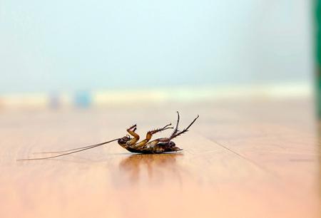 اختيار السم الفعال للصراصير