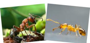 حول الغابات الحمراء والنمل المحلي ، فضلا عن الاختلافات