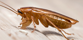 كيف وأين تظهر الصراصير في الشقة
