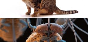 هل القطط لديهم القمل وكيفية إزالة الطفيليات الصغيرة من شعر الحيوانات الأليفة