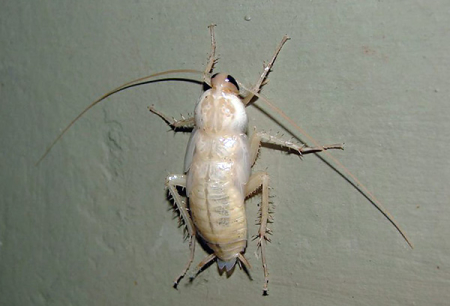 الصراصير البيضاء في الشقة - أي نوع من المينوس هم؟