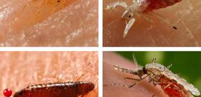 أي نوع من الحشرات الماصة للدم يمكن العثور عليها في السرير أو الأريكة