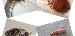 أي نوع من الحشرات المحلية يمكن العثور عليها في الإسكان البشري: الطفيليات والآفات