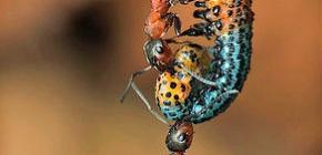 كم يبلغ وزن النملة وكمية الوزن التي يمكن أن يرفعها