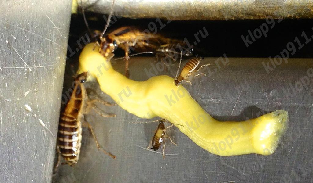 الصراصير تأكل الجل