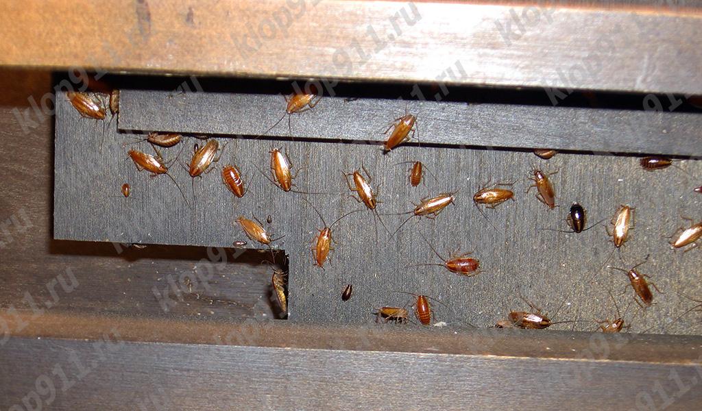 عش الصراصير الحمراء في الأثاث